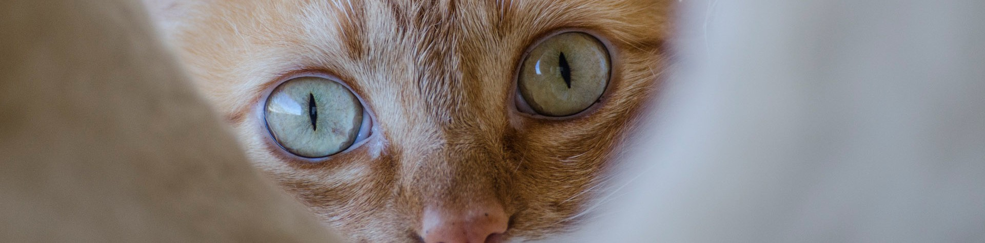 ginger cat close look