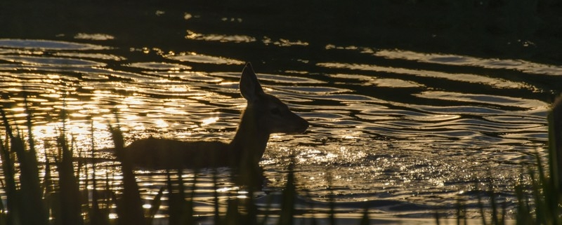 Fawn at sunset on the water