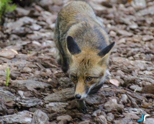 fox running closer