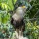 Falcon from Peru