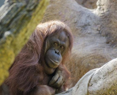 Orangutan curious looking
