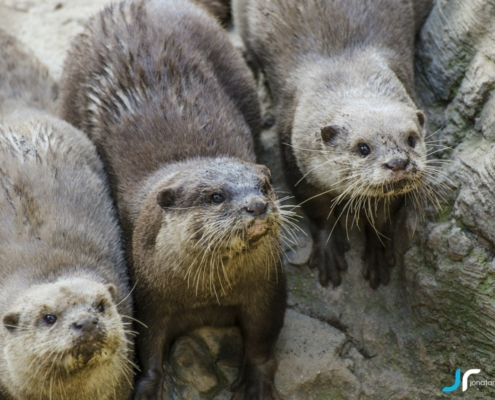 Otters looking for food