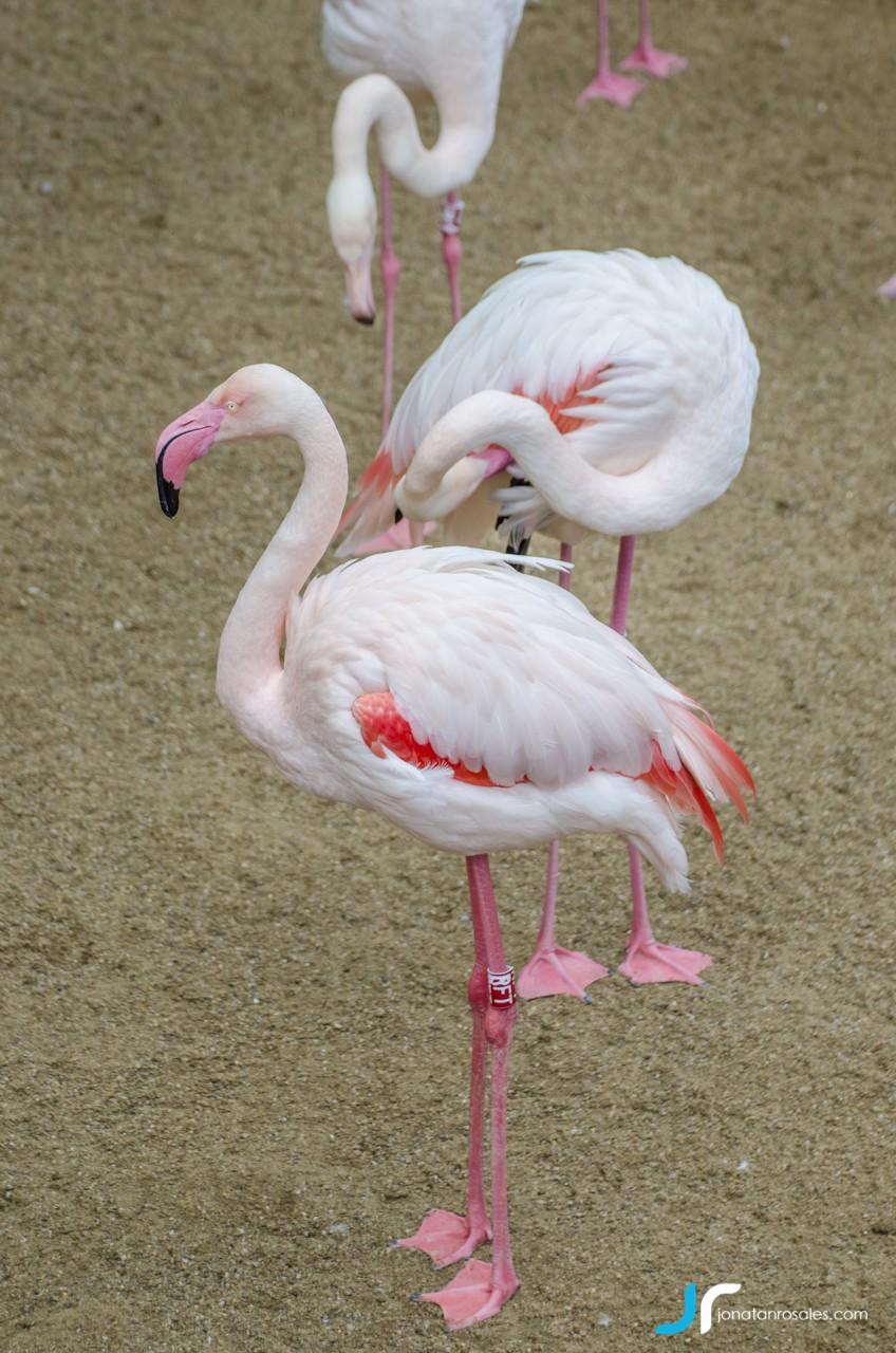 flamingo standing