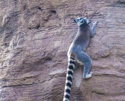 Lemur climbing on a three