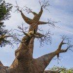 Baobab three